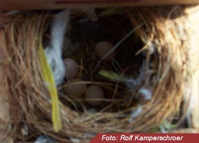 Nest Diamantfinken