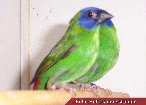Dreifarbige Papageiamadinen
