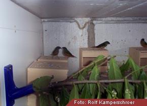 Papageimadinen Lauchgrün